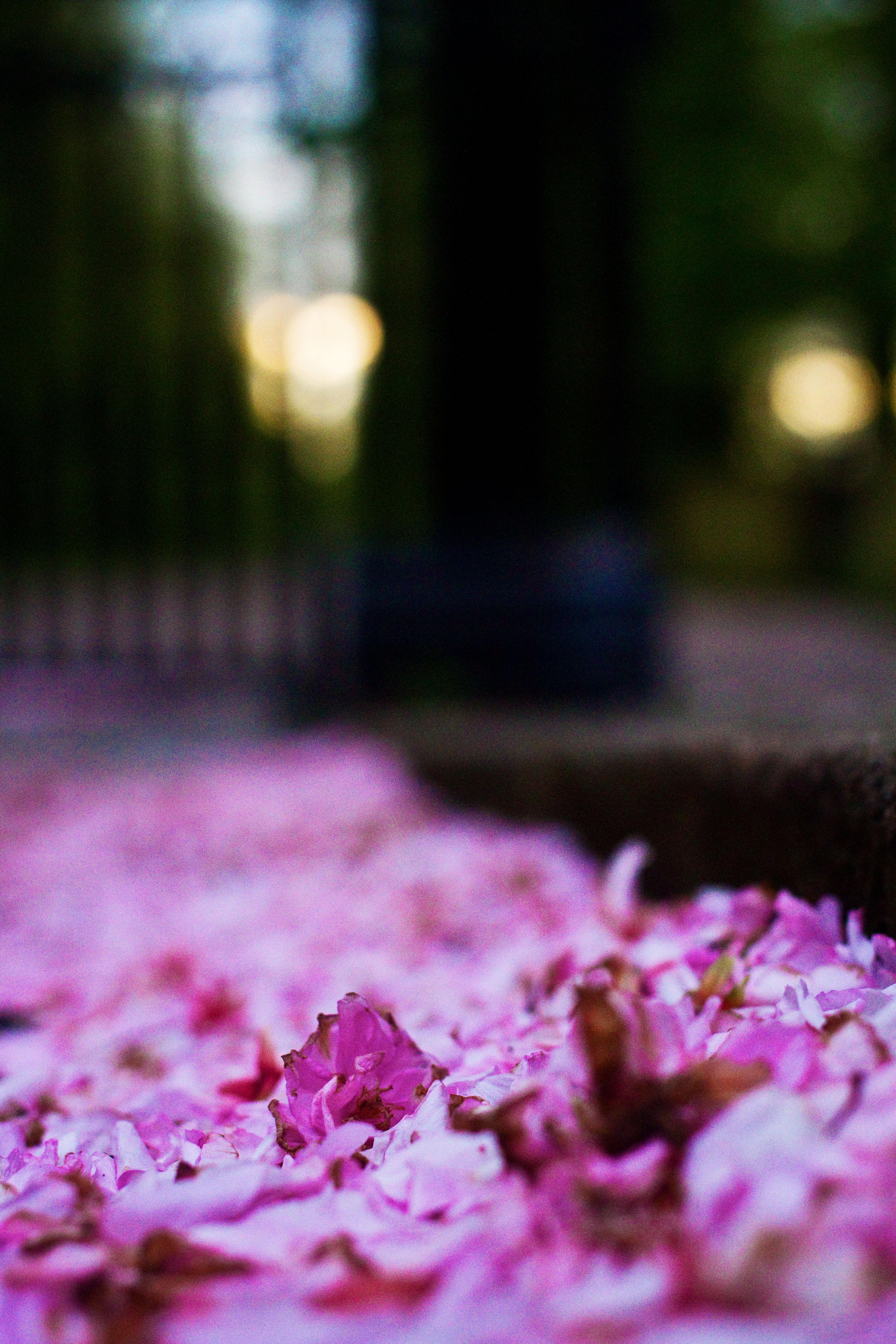 Dropped blossom on floor in Haslam Park Preston