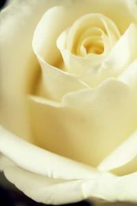 Cream rose close up shot
