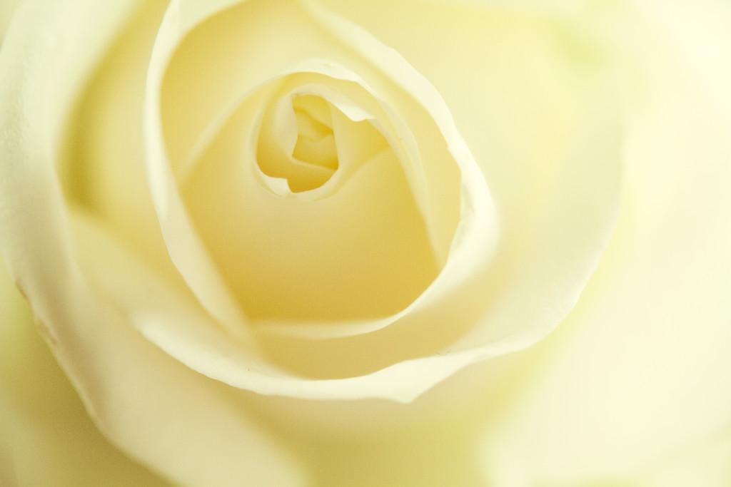 cream-rose