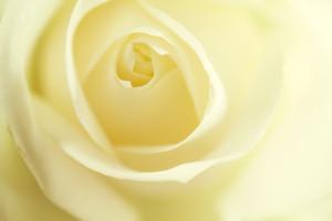Close up macro shot of cream rose