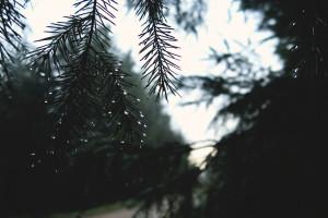 raindrops on conifer tree