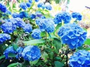 Bright blue hydrangeas
