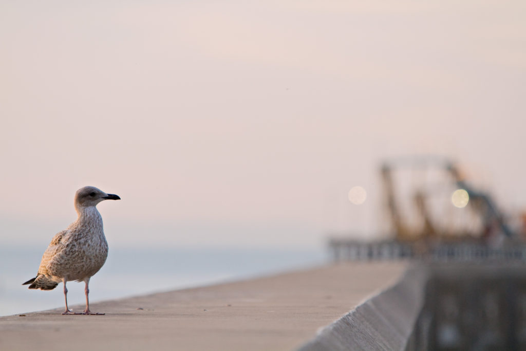 seagull-blackpool-sea-wall