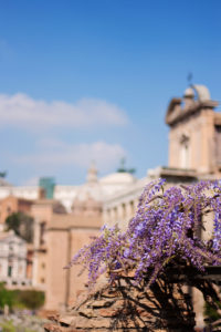 Purple Wisteria flower against bly sky background. Rome Italy.